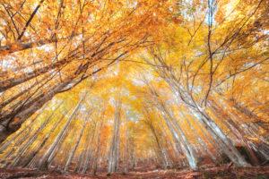 European beech (Fagus sylvatica), beech forest in autumn, colorful foliage in the Cansiglio forest, Alpago, Belluno, Veneto, Italy