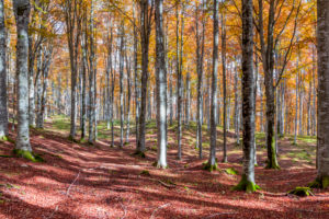 European beech (Fagus sylvatica), beech forest in autumn, colorful foliage in the Cansiglio forest, Alpago, Belluno, Veneto, Italy