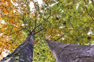 beech trees in early autumn from below up, half green and half orange leaves, agordino, belluno, veneto, italy