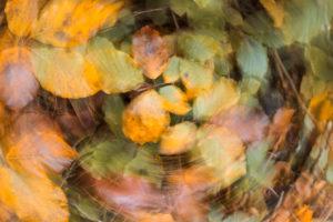 beech leaves in autumn, blurred abstract, agordino, belluno, veneto, italy