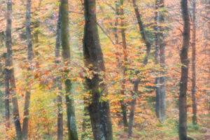 autumn beech forest at the pass of sant' osvaldo, cimolais, pordenone, friuli venezia gulia, italy
