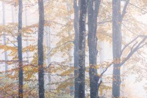 Forest of european beech (Fagus sylvatica) in autumn, colorful foliage in the Cansiglio forest, Alpago, Belluno, Veneto, Italy