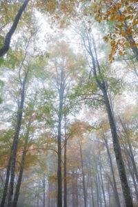 European beech (Fagus sylvatica) in autumn, colorful foliage in the Cansiglio forest, Alpago, Belluno, Veneto, Italy
