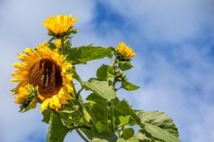 Nahaufnahme einer Sonnenblume in Comelico, Belluno, Venetien, Italien