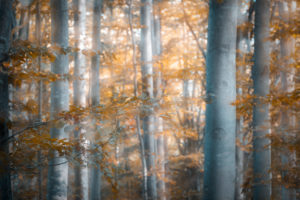 beech forest in autumn, blur effect, agordino, belluno, italy