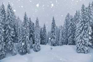 forest of snow-covered fir trees under a snowfall, Val di zoldo, belluno, Veneto Italy