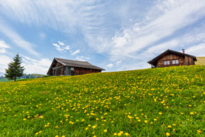 Alpe di Siusi - Seiser Alm, blooming meadows in spring and characteristic mountain barns, Dolomites, Kastelruth, South Tyrol, Italy