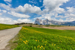 Alpe di Siusi - Seiser Alm, blooming meadows in spring with Sassolungo / Langkofel and the Sassopiatto / Plattkofel in the background, Dolomites, Kastelruth, South Tyrol, Italy
