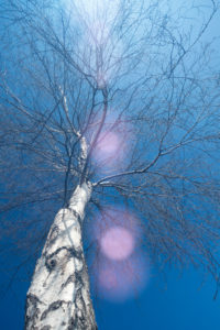 lonely birch rises towards the blue sky, venetian prealps, lentiai, belluno, veneto, italy