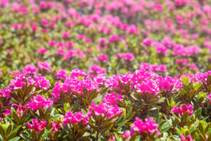 rhododendron blooming close up, val comelico, belluno, veneto, italy,