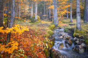 alpine stream in the woods, water flowing in the undergrowth with autumn colored trees, passo duran, dolomites, belluno, veneto, italy