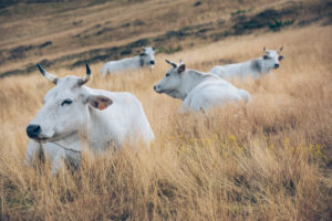 Chianina breed cows on the pastures of Croce di Pratomagno, municipality of Loro Ciuffena, Arezzo, Tuscany, Italy
