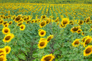 field of sunflowers in the Valdarno, province of Arezzo, Tuscany, Italy