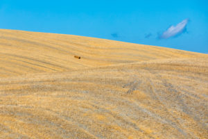 summer scenery with the rolling hills of Castiglione d'Orcia, province of Siena, Tuscany, Italy