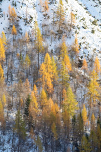 Larch forest in autumn, Corpassa valley, Civetta group, Agordino, Dolomites, Belluno, Veneto, Italy, Europe