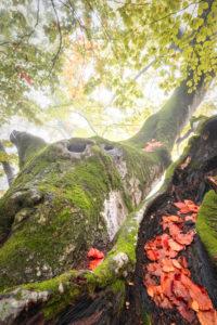 secular trees, secular beech trees in the valley of san lucano in autumnal dress, san lucano valley, dolomites, taibon agordino, belluno, veneto, italy