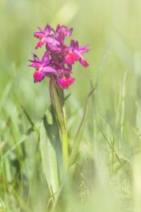 Elder-flowered orchid / Holunder-Knabenkraut / Dactylorhiza sambucina. Pastures of Lentiai / Col d'Artent, Belluno, Veneto, Italy