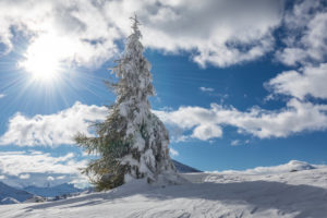 larch covered with snow the day after the storm, valparola pass, livinallongo del col di lana, belluno, veneto, italy