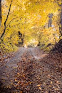 mule track in the woods with the colors of autumn, yellow foliage, Mel, municipality of Borgo Valbelluna, Belluno, Veneto, Italy