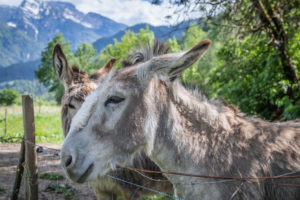 Italy, Veneto, Belluno, Agordino, couple of donkeys outdoors