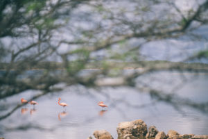 Flamingos on the flamingo sanctuary on Bonaire island