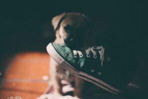 Welpenhund, der einen Schuh riecht