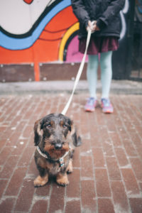 little  dachshund on the streets of amsterdam with a little girl holding his leash