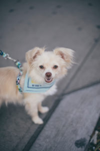 little dog smiling at the camera with a light blue handkerchief