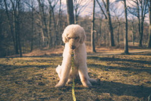 white labradoodle dog looking to the grass