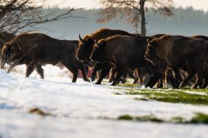Europe, Poland, Podlaskie, European bison / Bison bonasus