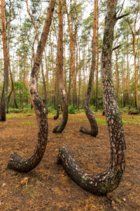 Europe, Poland, West Pomeranian Voivodeship, Krzywy Las / Crooked Forest