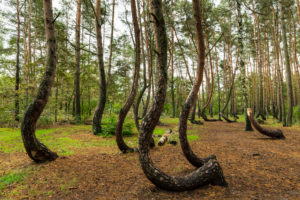 Europe, Poland, West Pomeranian Voivodeship, Krzywy Las / Crooked Forest