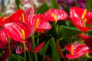 Anthuria Flower