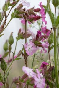 rosa Storchschnabelblüten zwischen Gräsern, Geranium, Storchschnabelgewächs, Geraniaceae