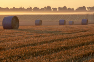 Round straw bales on harvested field in golden morning light