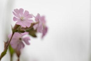 rosa Storchschnabelblüten vor weißem Hintergrund, Geranium, Storchschnabelgewächs, Geraniaceae