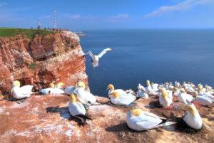 Northwest cliff with breeding seabirds Gannets, Heligoland, Helgoland Bay, German Bight, North Sea Island, North Sea, Schleswig-Holstein, Germany