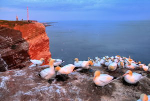 Northwest cliff with breeding seabirds Gannets, Heligoland, Helgoland Bay, German Bight, North Sea Island, North Sea, Schleswig-Holstein, Germany