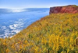 Wildflowers on the western cliff on the Oberland, Heligoland, Heligoland Bay, German Bight, North Sea Island, North Sea, Schleswig-Holstein, Germany