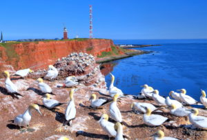 Seabirds, Gannets on the western cliff with lighthouse and transmission tower on the Oberland, Heligoland, Heligoland Bay, German Bight, North Sea island, North Sea, Schleswig-Holstein, Germany
