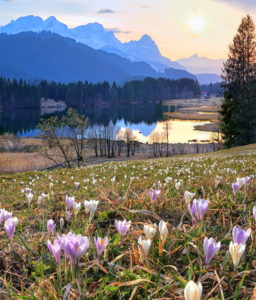 Spring meadow with wild crocuses at Geroldsee (Wagenbrüchsee) against the Zugspitzgruppe (2962m) in the evening sun, Weiler Gerold, district of Krün bei Mittenwald, Wetterstein Mountains, Werdenfelser Land, Upper Bavaria, Bavaria, Germany