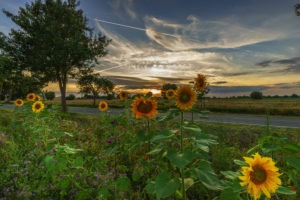 Sunflowers in the region Hannover