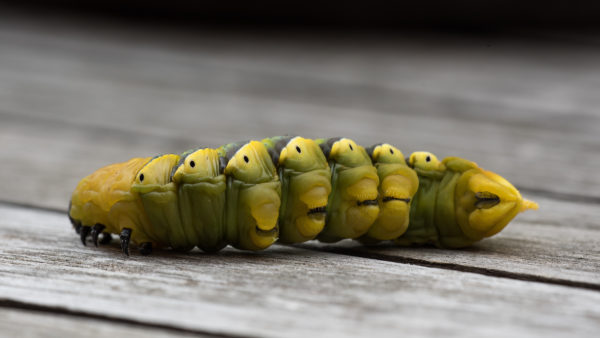 Caterpillar of Death's Head Hawkmoth in the final instar, on a wooden table, underside clearly visible
