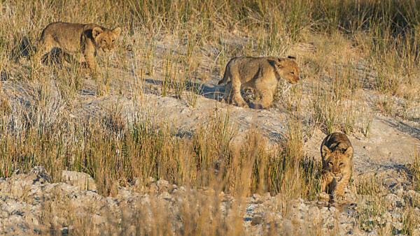 Eine Jeep-Tour durch Namibia, 3 Löwenwelpen in der Savanne