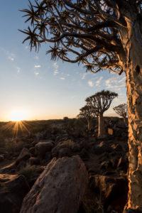 Köcherbäume mit der untergehenden Sonne im Köcherbaumwald / 'Spielplatz der Riesen' in der Nähe von Keetmanshoop, Süd Namibia