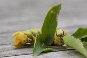 Caterpillar of Death's Head Hawkmoth in the final instar, on an elder branch