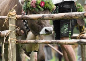 Viehscheid nach Almabtrieb im Spätsommer in Bayern, Kuh mit Kopfschmuck und Kuhglocke, daneben Bauer in Lederhose