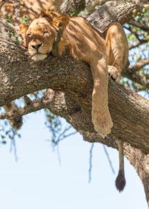 Nord Tansania am Ende der Regenzeit im Mai. Nationalparks Serengeti, Ngorongoro Krater, Tarangire, Arusha und Lake Manyara. Löwen, die auf Bäume klettern und dort schlafen... - in der Serengeti.
