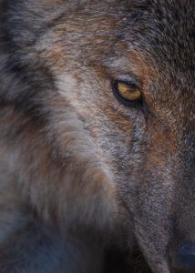 Wolf aus der Nähe fotografiert im Forschungsgehege Lobo Park, Antequera, Andalusien, Spanien
