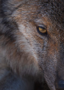 Wolf photographed up close in the Lobo Park research enclosure, Antequera, Andalusia, Spain